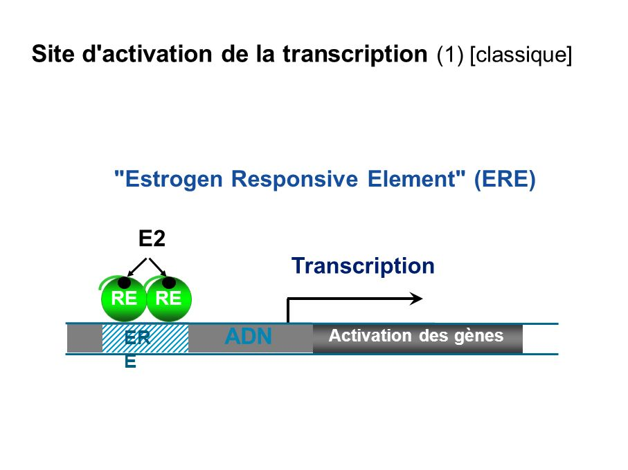 Site d activation de la transcription (1) [classique]